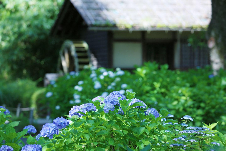 【関東】梅雨に行く「紫陽花(あじさい)」の名所10選|見頃やアクセス情報も