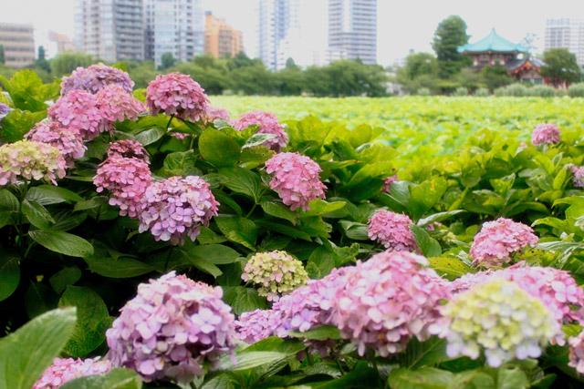 上野恩賜公園 紫陽花とハスのコラボ