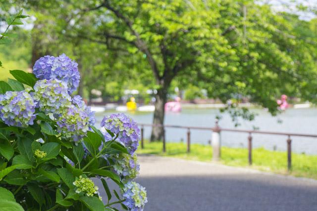 上野恩賜公園 不忍池沿いの紫陽花
