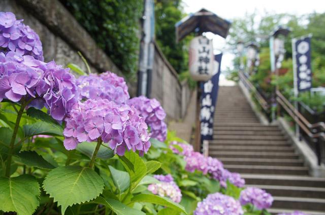 白山神社 敷地内にはさまざまな色の紫陽花が咲く