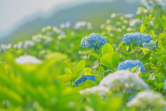 美の山公園 蓑山の山頂に咲く紫陽花