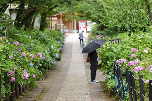 本土寺 紫陽花が咲く小路