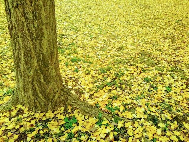 「光が丘公園」イチョウの絨毯
