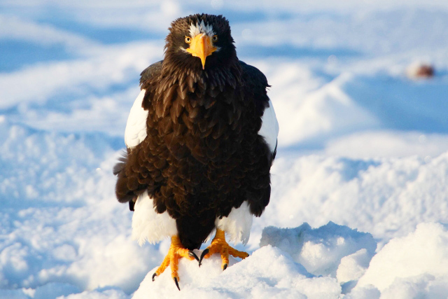 Steller's sea eagles spotted during the harsh winter