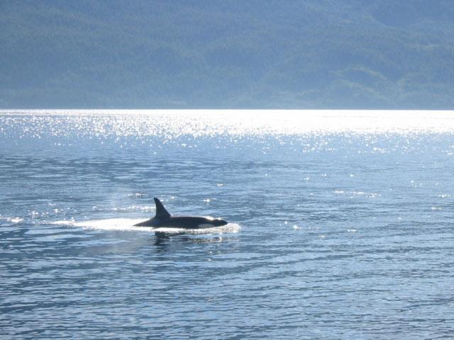 Killer whales seen during warmer months