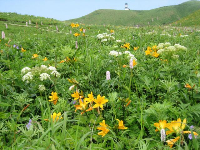 Alpine flowers at Rebun Island