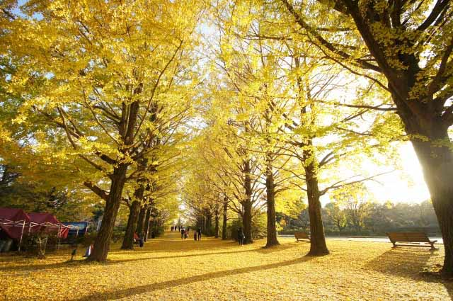 Where to see golden carpet of Gingko trees in Tokyo
