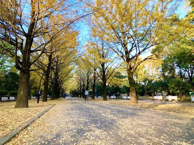 Hikarigaoka Park, rows of Gingko trees