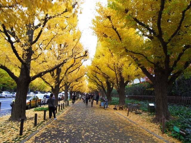 銀杏並木林道