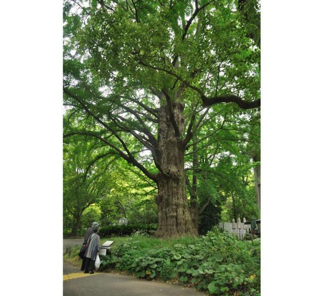 「日比谷公園」鎮園之樹—「賭頭銀杏」(首かけイチョウ)