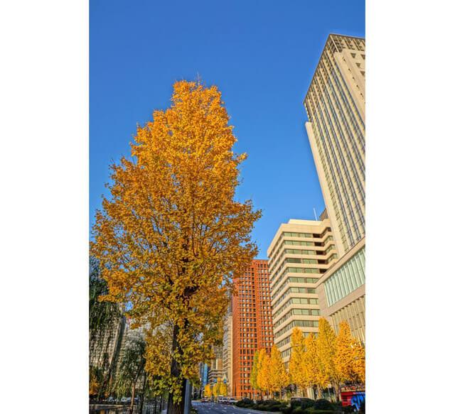 「日比谷通」上的黃葉景致