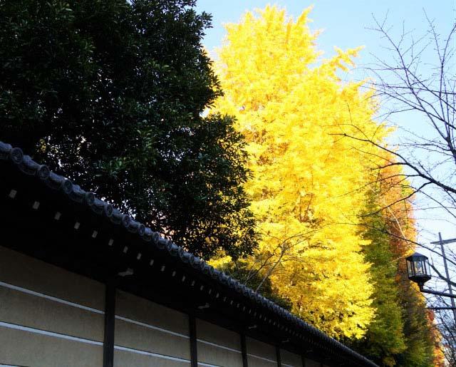 「靖國神社」內,燦爛金黃的銀杏並木