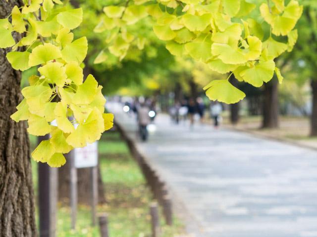 辰巳之森綠道公園的銀杏並木