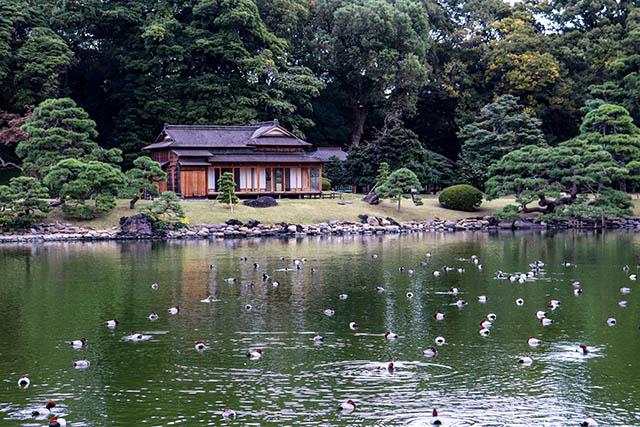 Shioiri Pond still home to dozens of ducks