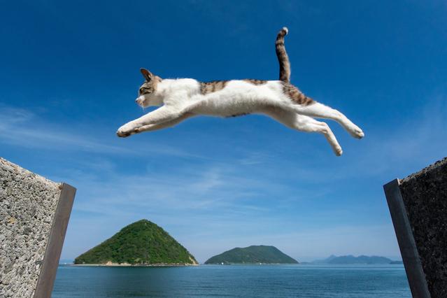 SNS에서 인기를 끌었던 사나기섬의 제방을 넘는 고양이