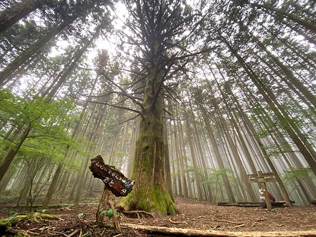 Large cedar believed to be more than 700years old