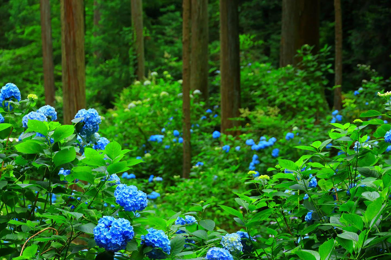 Minamisawa Hydrangea (Ajisai) Mountain