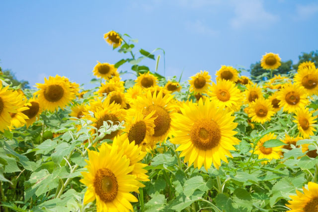 16 Best Places to See Sunflower in Kanto Region