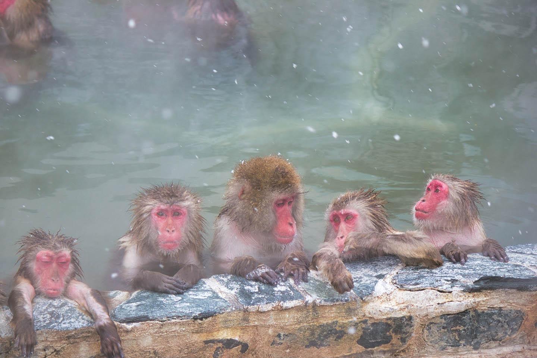 세상에 하나뿐인 원숭이 온천,  '스노우 몽키 파크'로!