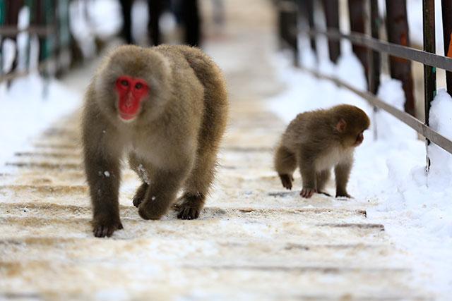 走在橋上的猴子們
